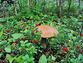Сбор грибов в лесах вокруг Ладожского озера